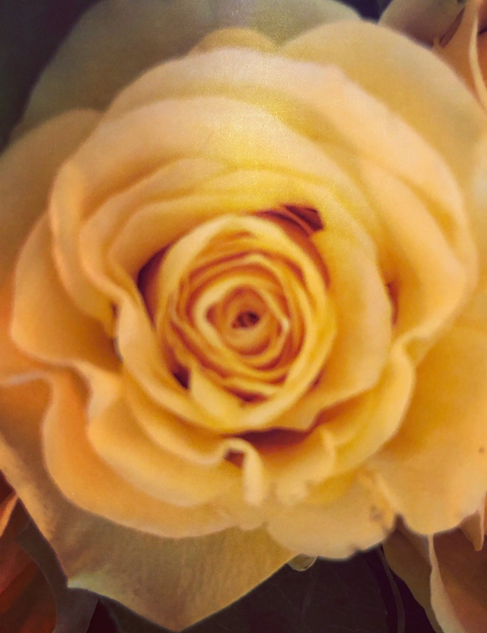 Yellow-Rose-for-Texas